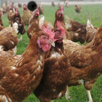 SUIVRE News Hebdo n°43 - Parce que les poules sont parmi les rares êtres vivants à avoir passé une bonne semaine...